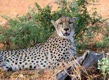 Weiblicher Gepard Stockfotos