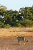 Weiblicher Gepard Lizenzfreie Stockbilder