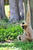 Weiblicher Gibbon-Affe Stockfotografie