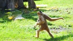 Weiblicher Gibbon, der mit Baby läuft Lizenzfreie Stockfotografie