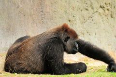 Weiblicher Gorilla Lizenzfreies Stockbild