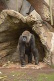Weiblicher Gorilla Lizenzfreie Stockfotos