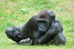 Weiblicher Gorilla Lizenzfreie Stockbilder
