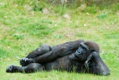 Weiblicher Gorilla stockfotos