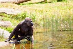 Weiblicher Gorilla, der für etwas erreicht Lizenzfreie Stockfotos