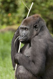 Weiblicher Gorilla des westlichen Tieflandes Stockfotos