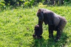 Weiblicher Gorilla mit Baby Stockbild