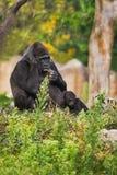Weiblicher Gorilla mit Kind Lizenzfreie Stockbilder