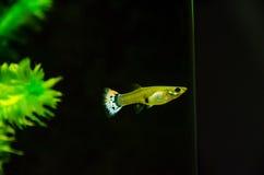 Weiblicher Guppy, der über dem Aquarium hinaus anstarrt Stockfotos