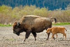Weiblicher hölzerner Bison mit Kalb stockfotografie