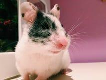 Weiblicher Hamster Lizenzfreie Stockbilder