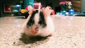 Weiblicher Hamster Lizenzfreies Stockfoto