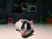 Weiblicher Hamster Stockfoto