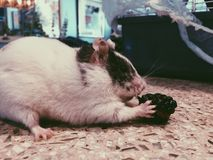 Weiblicher Hamster Lizenzfreie Stockfotografie