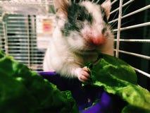 Weiblicher Hamster Stockfotos