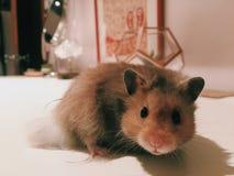 Weiblicher Hamster Stockfotografie