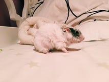 Weiblicher Hamster Stockbild