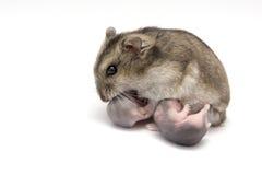 Weiblicher Hamster, der ihr neues Baby geboren stillt stockbilder