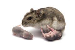 Weiblicher Hamster mit seinen neues Baby getragenen Hamstern Lizenzfreie Stockfotografie