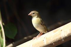 Weiblicher hauptsächlicher Vogel Lizenzfreies Stockbild