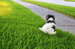 Weiblicher Hund Havanese fing das Urinieren auf Gras lizenzfreie stockbilder