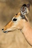 Weiblicher Impala Lizenzfreie Stockfotografie