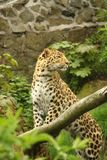 Weiblicher Jaguar Stockbild