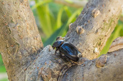 Weiblicher Käfer lizenzfreie stockbilder