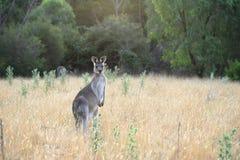 Weiblicher Känguru Stockfotografie