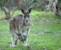 Weiblicher Känguru mit joey lizenzfreies stockbild