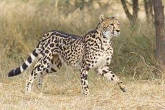 Weiblicher König Cheetah (Acinonyx jubatus), Südafrika Lizenzfreie Stockbilder