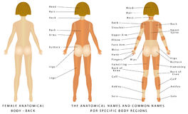 Weiblicher Körper - hinter Stockfotografie