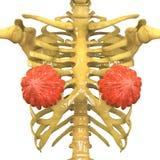 Weiblicher Körper-Organe (Milch- Drüsen) mit Skeleton System Lizenzfreie Stockbilder
