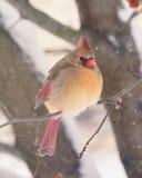 Weiblicher Kardinal auf Niederlassung im Schnee Stockfotografie