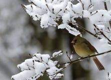 Weiblicher Kardinal auf Snowy-Niederlassung Lizenzfreie Stockfotos