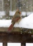 Weiblicher Kardinal im Schnee Stockbilder