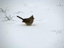 Weiblicher Kardinal im Schnee Lizenzfreie Stockfotos