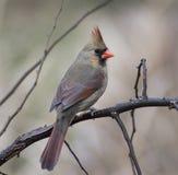 Weiblicher Kardinal (Richmondena cardinalis) Stockbilder