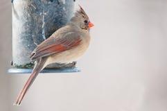 Weiblicher Kardinal sitzt auf der Vogelzufuhr Stockbilder
