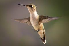 Weiblicher karminroter throated Kolibri Lizenzfreie Stockfotografie