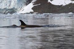Weiblicher Killerwal, der entlang die Antarktis schwimmt Stockfotos