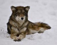 Weiblicher Kojote Stockfotografie