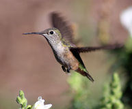 Weiblicher Kolibri Stockfotos