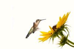 Weiblicher Kolibri, der eine Sonnenblume aprroaching ist. stockbilder
