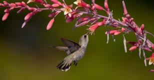Weiblicher Kolibri und rote Yuccablume stockfoto