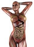Weiblicher Körper mit den Skelettmuskeln und den Organen Lizenzfreies Stockfoto