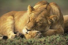Weiblicher Löwe Stockfoto