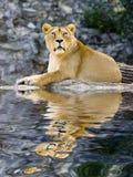 Weiblicher Löwe Stockfotos