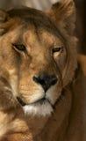 Weiblicher Löwe lizenzfreie stockfotos