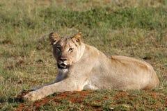 Weiblicher Löwe Lizenzfreies Stockbild